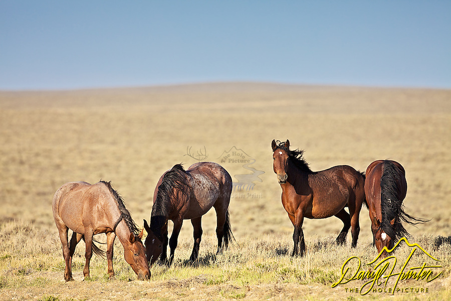 Band of Mustangs roaming free on the Wyoming Desert