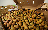 Feb. 20, 2019. San Diego, CA. USA| Feeding San Diego CEO Vince Hall in the warehouses refrigerator with pears. | Photos by Jamie Scott Lytle. Copyright.