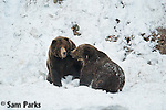 A grizzly bear demonstrates submissive behavior to a rival following a fight. Yellowstone National Park, Wyoming.