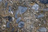 Seashell encased in sandstone at Castlepoint.