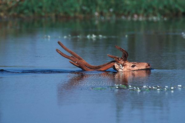 Indian Sambar (Cervus unicolor), buck swimming, Ranthambore National Park,India