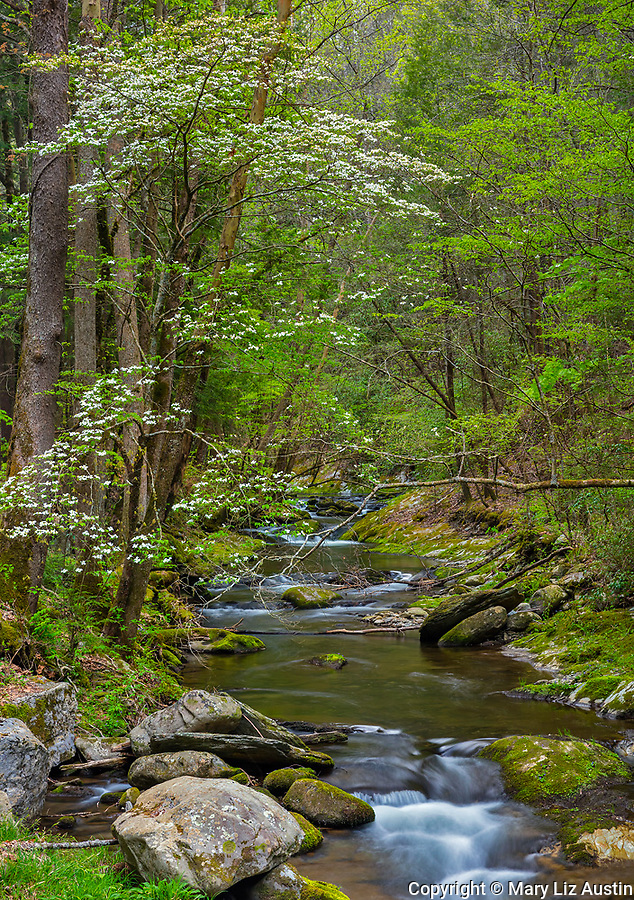 Great Smoky Mountains National Park, Tennessee: Flowering dogwood on the banks of the Little River in spring