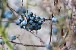 Sloes, the fruit of blackthorn, Prunus spinosa, in traditional hay meadow. Clattinger Farm, WIltshire. UK.