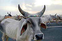 Cows on the road in the Kutch district...by Michael Benanav - mbenanav@gmail.com