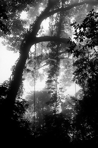 Amazon, Brazil. Misty Amazonian rain forest with lianas.