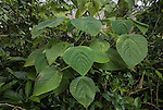 Stinging Tree, usually grows as a single-stemmed plant reaching 1 to 2 metres in height. It has large, heart-shaped leaves that are about 12 to 22 cm long and 11–18 cm wide, with finely toothed margins. The species is an early coloniser in rainforest gaps, seeds germinate in full sunlight after soil disturbance. Contact with the leaves or twigs causes the hollow silica-tipped hairs to penetrate the skin. The sting causes a painful stinging sensation which can last for days or even months and the injured area becomes covered with small red spots joining together to form a red, swollen mass. The sting is known to have killed one human, and it can also kill dogs and horses. One can suffer even if the plant is not touched. The plants continuously shed their stinging hairs. Stay close to the stinging trees for more than an hour, and one can get an allergic reaction - intensely painful and continuous bouts of sneezing. Nose bleeds can also happen from silicon hairs floating in the air..Dendrocnide moroides or Dendrocnide excelsa (also known as Laportea gigas)