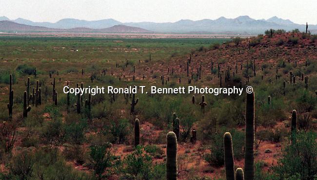 Saguaro cactus (Camegiea gigantea) field Sonoran Desert Arizona, Fine Art Photography by Ron Bennett, Fine Art, Fine Art photography, Art Photography, Copyright RonBennettPhotography.com ©