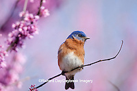 01377-17007 Eastern Bluebird (Sialia sialis) male in Eastern Redbud (Cercis canadensis) in spring, Marion Co., IL