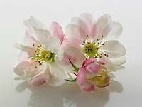 Stock Photos of close up of apple blossom on a white background. Funky stock photos library