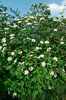 Wayfaring-tree Viburnum lantana Caprifoliaceae Height to 6m. Small, spreading deciduous tree. Bark Brown. Branches With rounded, greyish, hairy twigs. Leaves Opposite, to 14cm long ovate and toothed. Reproductive parts Flowers white, 5-petalled, to 8mm across, in rounded heads about 10cm across. Fruits oval berries about 8mm long; ripen red to black. Status Native, favouring calcareous soils; also planted.