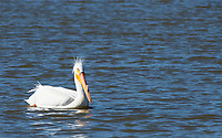 American White Pelican, Pelecanus erythrorhynchos, swims on Lake Ewauna, near Klamath Falls, Oregon