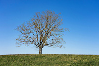 Single tree with spring buds.