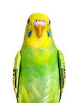 20160425 Earl Parakeets