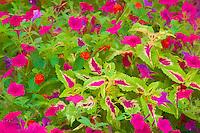 63821-21920 Photo illustration of Pink Tidal Wave Petunias, Sun Coleus, and Red Spread Lantana (Lantana camara) Marion Co., IL