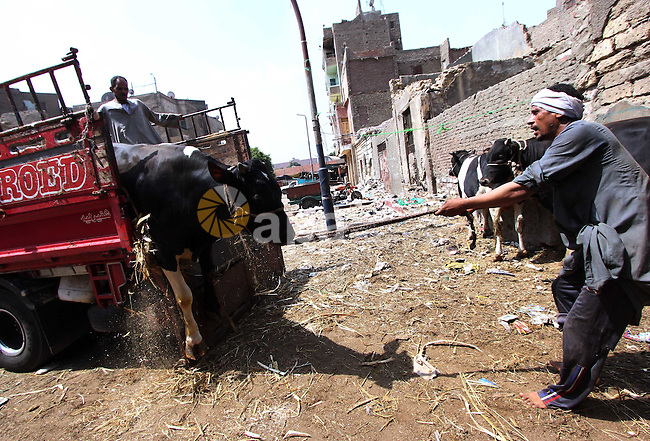 An Egyptian man unload a buffalo from a truck at a market ahead of the sacrificial Eid al-Adha festival in Cairo on September 23, 2015. Muslims across the world are preparing to celebrate the annual festival of Eid al-Adha, or the Festival of Sacrifice, which marks the end of the Hajj pilgrimage to Mecca and in commemoration of Prophet Abraham's readiness to sacrifice his son to show obedience to God. Photo by Amr Sayed