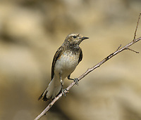 Pied Wheatear, Female - Oenanthe pleschanka