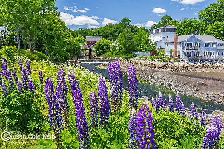 Lupines in Blue Hill, Maine, USA
