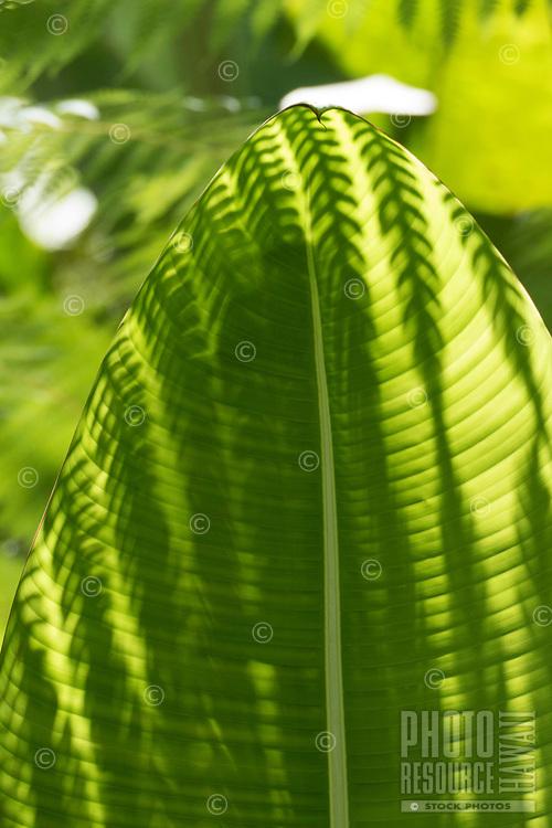 A fern's shadow falls on a large green leaf at Hawaii Tropical Botanical Garden near Onomea Bay in Papa'ikou near Hilo, Big Island of Hawai'i.