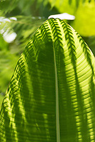 Close-up of shadows from a fern cast light on a large green leaf at Shadows from a fern cast light on a large green leaf at Hawaii Tropical Botanical Garden near Onomea Bay in Papa'ikou near Hilo, Big Island of Hawai'i.