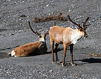 Young caribou bulls at Savage River in June
