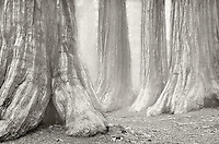 Grove of Giant sequoia trees in fog. Mariposa Grove. Yosemite National Park, California