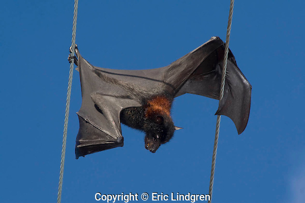 Grey-headed Flying Fox electrocuted during its nocturnal food-seeking wanderings.   //  Grey-headed Flying Fox: Pteropodidae: Pteropus poliocephalus. Length to 25cm; weight to 800g; wingspan to 100cm. By touching two separate power lines this individual caused electricity to flow through its body resulting in its death. Common in urban areas in eastern Australia where it is becoming a pest. Feeds on a variety of fruit - native and cultivated - and is an important pollinator in rainforests. Daytime roosting sites (camps) may contain tens of thousands of individuals, and droppings, noise and smell cause serious concern in suburban areas - also some individuals may carry a lyssavirus causing the fatal Hendra Disease in horses. Also known as Equine Morbillivirus Pneumonia, Acute Equine Respiratory Syndrome, this disease has emerged comparatively recently and has caused seven deaths in humans, particularly veterinarians and wildlife carers handling flying-foxes (=fruit-bats). Brisbane, Australia.  IUCN Status: Least Concern.   /  Australian Bat Lyssavirus (ABLV) -  Rhabdoviridae:  This family includes the Rabies virus, carried mostly by bats. Lyssavirus is known from both insectivorous bats (Microchiroptera) and fruit-bats (Megachiroptera), including P. poliocephalus. ABLV incubation period recorded from less than 90 days to 27 months, usually followed by death with rabies-like symptoms. A vaccine is available. //
