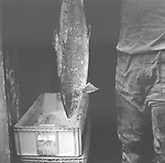A salmon netter holds up a fish caught in his bag net at Boddin, Angus.<br /> Ref. Catching the Tide 41/00/11 (20th June 2000)<br /> <br /> The once-thriving Scottish salmon netting industry fell into decline in the 1970s and 1980s when the numbers of fish caught reduced due to environmental and economic reasons. In 2016, a three-year ban was imposed by the Scottish Government on the advice of scientists to try to boost dwindling stocks which anglers and conservationists blamed on netsmen.