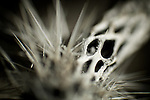 close-up photograph of a cholla cactus skeleton