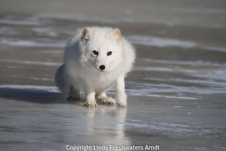 Arctic fox (Alopex lagopus) walking on the ice