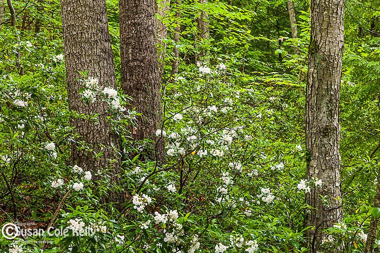 Mountain Laurel (Kalmia latifolia) at the Beaver Brook Association in Hollis, New Hampshire, USA