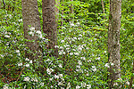 Mountain Laurel (Kalmia latifolia) at the Beaver Brook Association in Hollis, New Hampshire, USA