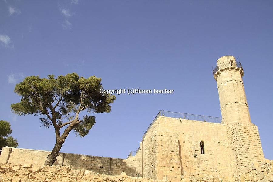 Israel, Jerusalem mountains, Aleppo Pine (Pinus halepensis) tree in Nabi Samuel