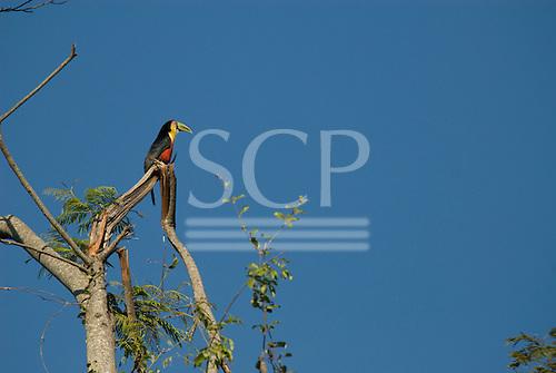 Fazenda Bauplatz, Brazil. Red-breasted toucan (tucano de bico verde) (Ramphastos dicolorus) perched on a branch of a leafless tree.