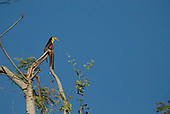 Fazenda Bauplatz, Brazil. Red-breasted toucan (tucano de bico verde) (Ramphastos dicolorus) perched on a branch of a leafless tree.