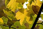 Europa, DEU, Deutschland, Nordrhein Westfalen, NRW, Rheinland, Niederrhein, Herbst, Baum, Ahorn, Blaetter, Blattverfaerbung, Herbstfarben, Kategorien und Themen, Natur, Umwelt, Pflanzen, Pflanzenkunde, Botanik, Biologie, ....[Fuer die Nutzung gelten die jeweils gueltigen Allgemeinen Liefer-und Geschaeftsbedingungen. Nutzung nur gegen Verwendungsmeldung und Nachweis. Download der AGB unter http://www.image-box.com oder werden auf Anfrage zugesendet. Freigabe ist vorher erforderlich. Jede Nutzung des Fotos ist honorarpflichtig gemaess derzeit gueltiger MFM Liste - Kontakt, Uwe Schmid-Fotografie, Duisburg, Tel. (+49).2065.677997, ..archiv@image-box.com, www.image-box.com]