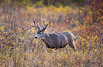Mule deer buck in Montana with fall colored brush