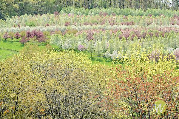 Nursery flowering trees on hillside. Bloomingrove Road.