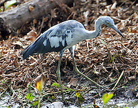 Second year little blue heron molting to adult blue plumage in July