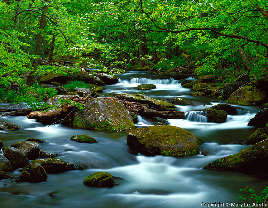 Great Smoky Mountains National Park, TN/NC<br /> Flowering dogwood branch hangs above the flowing waters of Middle Prong Little River in Spring
