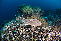 Tassled Wobbegong Shark, Eucrossorhinus dasypogon, swimming over a colony of Acropora coral. Raja Ampat, West Papua, Indonesia, Indian Ocean