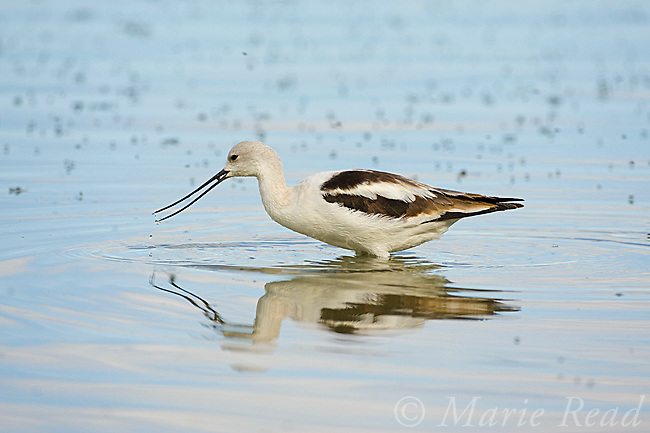 American Avocet (Recurvirostra americana), non-breeding plumage, foraging, October, Mono Lake, California, USA