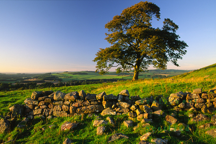 Summer evening light on a dry stane dyke and tree looking down on Annandale from near Repentance Tower Dumfries and Galloway Scotland UK