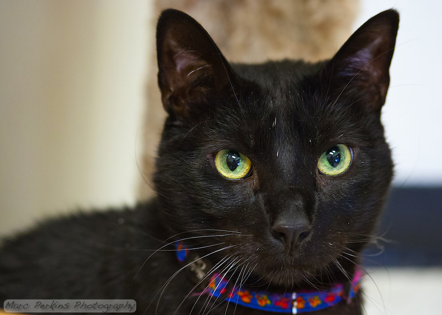 Hurricane, a seven year old male short-haired black cat, staring into the camera for a portrait.  Hurricane is a very intelligent, outgoing cat who loves people and is not afraid of anything, but who needs to live in a house without other pets as he can be aggressive to other dogs and cats.  Hurricane is up for adoption at Miss Kitty's Rescue in Costa Mesa, CA.  This picture was taken pro bono for Miss Kitty's Rescue to help them advertise the cats for adoption.
