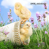 Xavier, EASTER, OSTERN, PASCUA, photos+++++,SPCHCHICKS34,#e#, EVERYDAY ,chicken