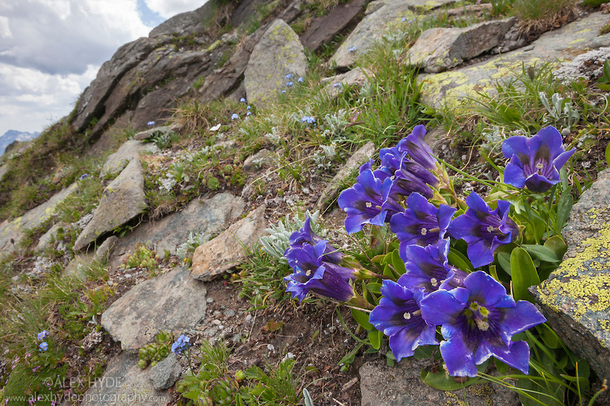 Trumpet / Stemless Gentian {Gentiana acaulis}. Aosta Valley, Monte Rosa Massif, Pennine Alps, Italy. July.
