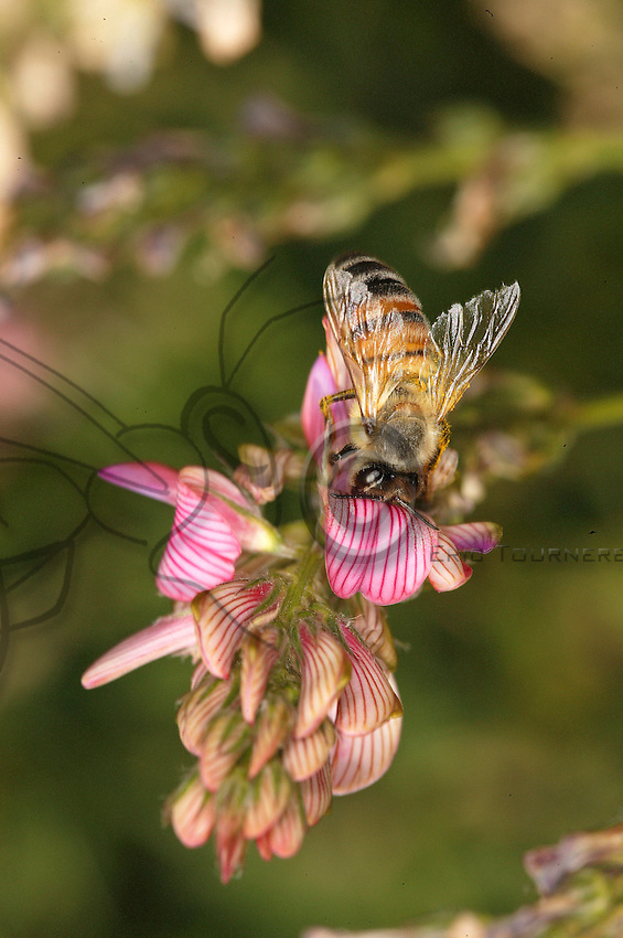 Foraging on a sainfoin flower. The Gatinais area was long famous for its sainfoin honey. This forage plant has practically disappeared with the development of intensive agriculture. Today, the nutritious qualities of sainfoin are being rehabilitated by the scientific world.