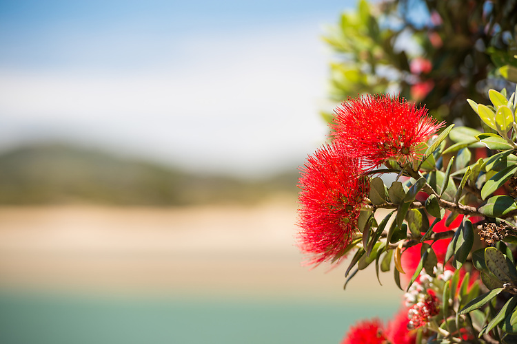 Pohutukawa flowers with defocused beach background, Tutukaka Coast, New Zealand - stock photo, canvas, fine art print