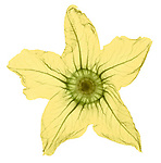 X-ray image of a yellow squash blossom (color on white) by Jim Wehtje, specialist in x-ray art and design images.