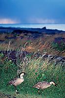 Hawaiian nene goose, Branta sandvicensis, Hawaiian State Bird, endangered and endemic, Hawaii Volcanoes National Park, Big Island, Hawaii, USA
