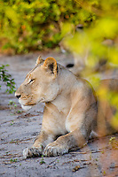 Africa, Botswana, Kasane, Chobe National Park, lion.